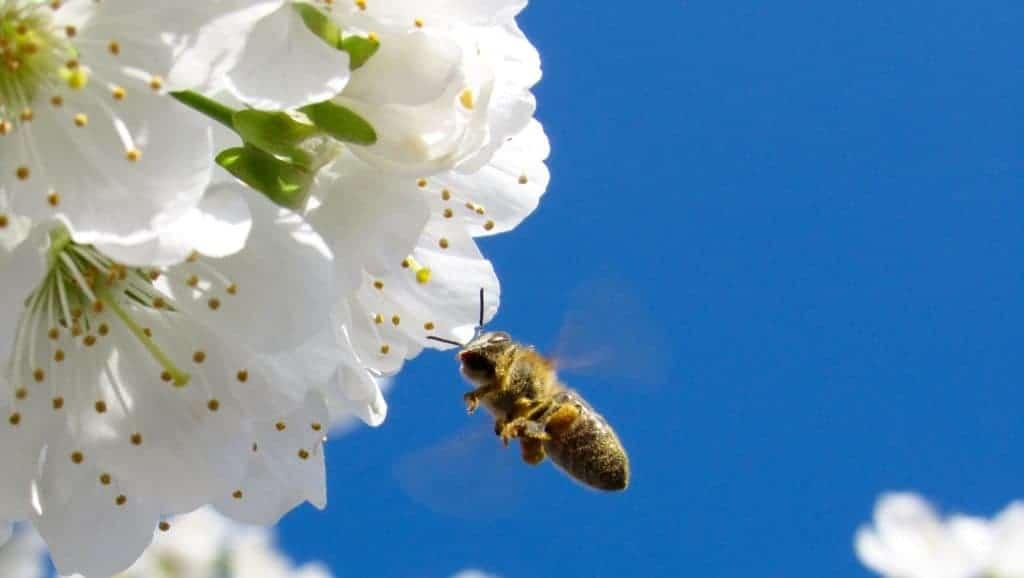 abeille butine en liberte