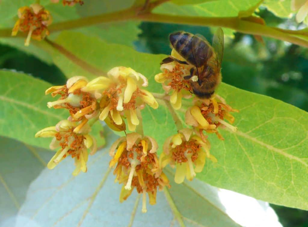 Abeille mellifère butinant une fleur de tilleul
